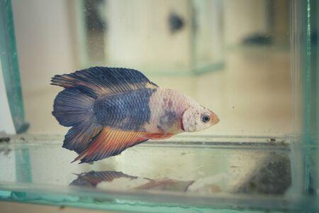 dragon swim: Fighting fish