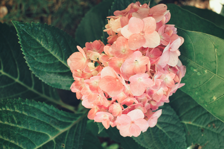 idea comfortable: Hydrangea flowers