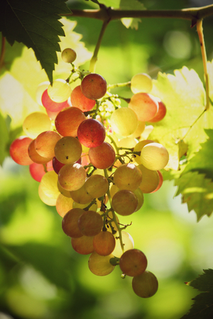 grape vines: Grapes in vineyard