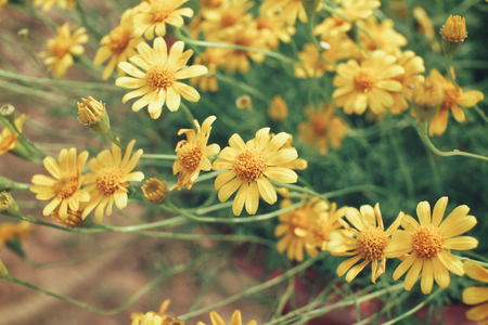 green on yellow: Daisy flowers - yellow flowers