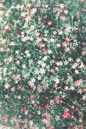 Pink gypsophila flowers