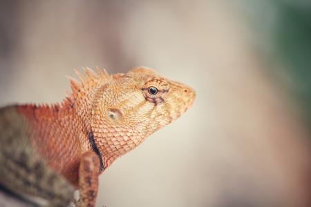 species of creeper: Brown thai lizard on tree Stock Photo