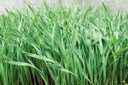 cebada: La hierba de cebada Foto de archivo