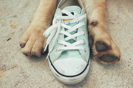 labrador retriever: Labrador dog with shoes