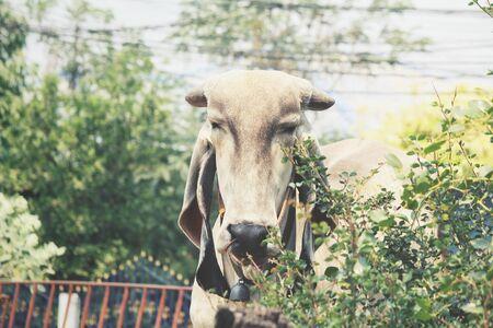 buey: vaca en un establo - buey que come la hierba Foto de archivo