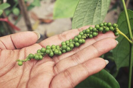 peper: Fresh green peper on peper tree