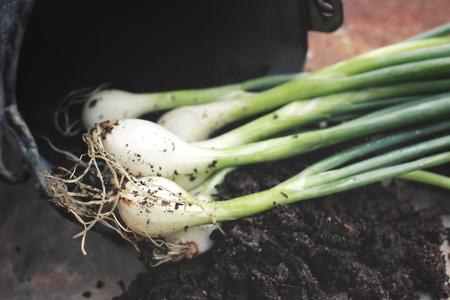 cebollas: Spring onions with soil