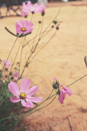 Pink cosmos flowers Stock Photo