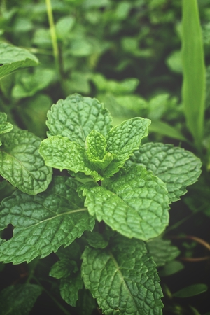 Pepper mint leaves Stock Photo