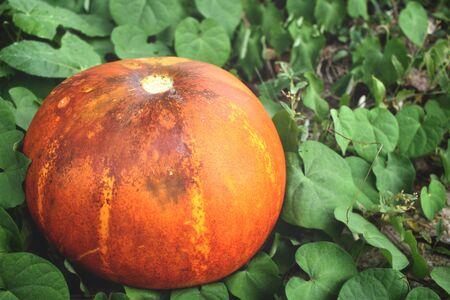 Cantaloupe: Cantaloupe melon