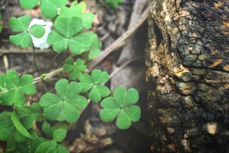 patrick: Clover leaves