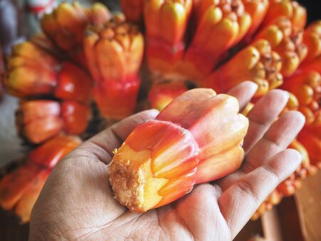 Orang pandanus fruit on hand