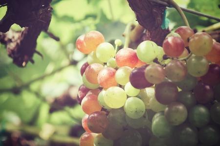 Beautiful of grapes in vineyard