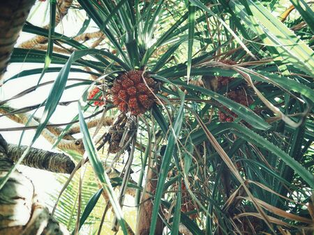 Pandanus fruit with leaves