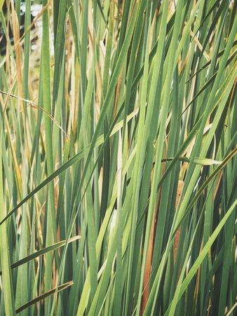 Green vetiver leaves Stock Photo
