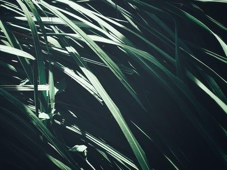 Green vetiver leaves
