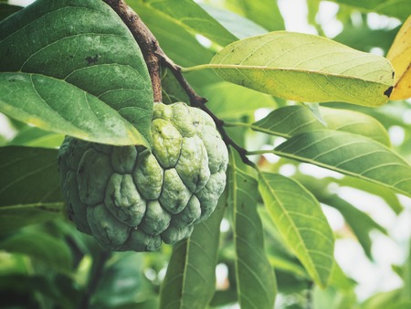 Custard apple with leaves on tree
