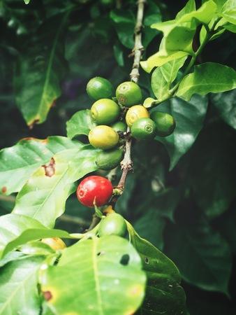 Coffee plant on the tree 写真素材