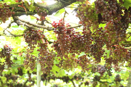 Fresh grapes and leaves on tree in vineyard
