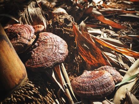Ganoderma Lucidum - Ling Zhi Mushroom in forest