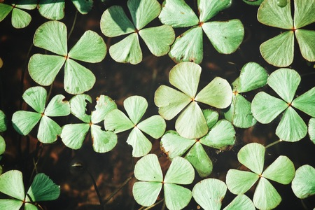 Lucky clover leaves with water