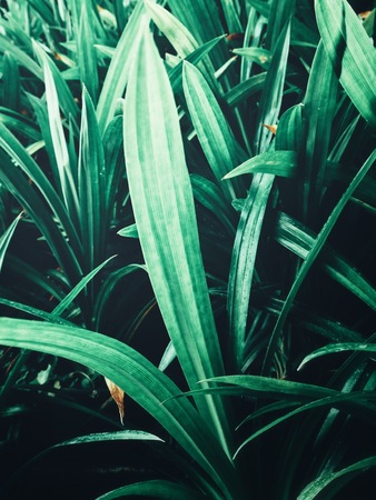 Green pandan leaves Stock Photo