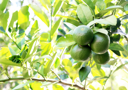 citrus fruit: fresh lemons on tree in garden