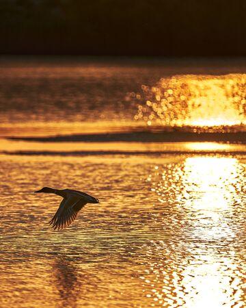 A ducks take flight in a lake at sunrise