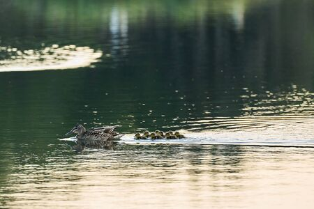 A mother duck swims together her little ducks in a lake at sunrise Stock Photo