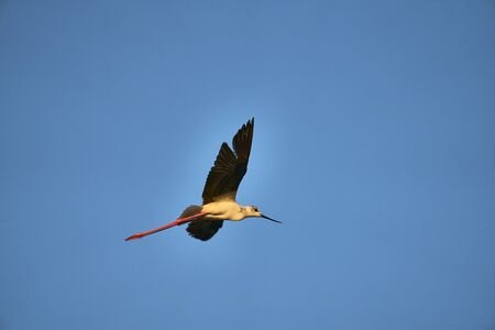 A common stork flies through a blue sky looking for food
