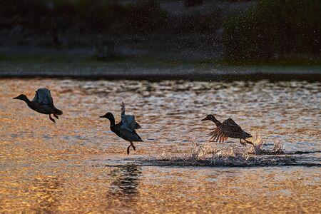 Ducks take flight in a lake at sunrise