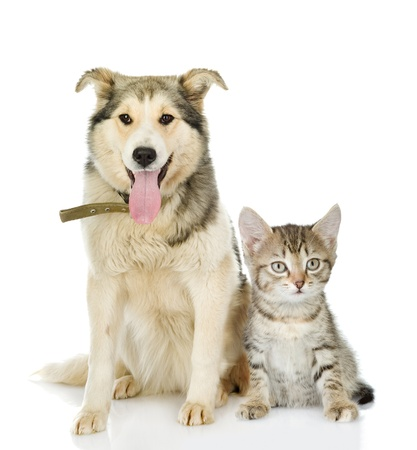 large dog and kitten  looking at camera  isolated on white background photo