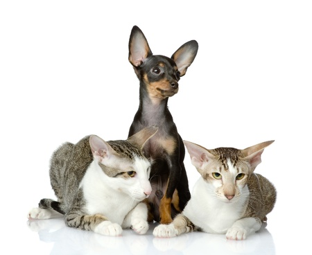 toyterrier: toy-terrier and two oriental cats together  isolated on white background