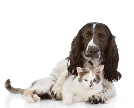 English Cocker Spaniel dog and kitten together  looking at camera  isolated on white background photo