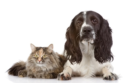 English Cocker Spaniel dog and cat together  isolated on white background photo