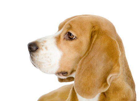 beagle: Close-up of Beagle puppy in profile  isolated on white background Stock Photo
