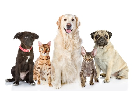 猫と犬の前に白い背景で隔離のカメラを見ての大規模なグループ