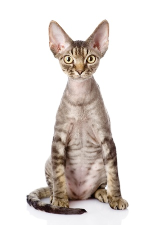 devon: devon rex cat sitting in front  looking at camera  isolated on white background Stock Photo