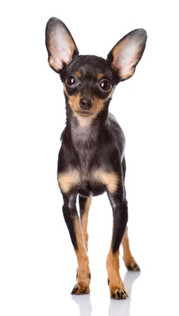 small white dog: Toy Terrier puppy standing in front  isolated on white background
