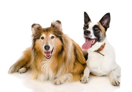 scottish collie: two dogs looking at camera   isolated on white background