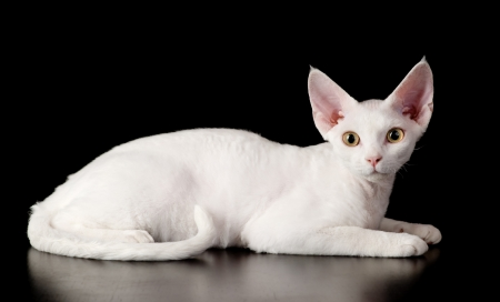 devon: white devon rex cat  isolated on dark background Stock Photo