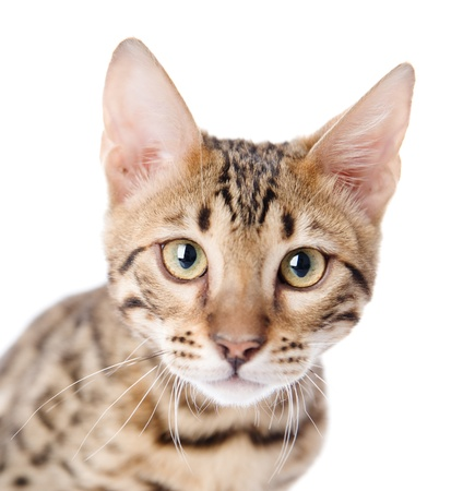 prionailurus: The leopard cat  Prionailurus bengalensis   isolated on white background