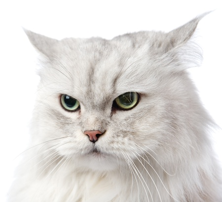 gray cat: closeup persian gray cat portrait  isolated on white background