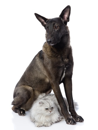 black dog protects a cat  looking away  isolated on white background photo