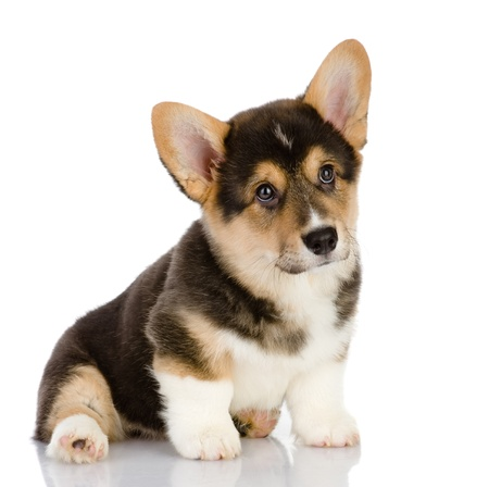 Pembroke Welsh Corgi puppy sitting  looking at camera  isolated on white background