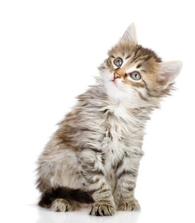 fluffy gray beautiful kitten looking up  isolated on white background photo