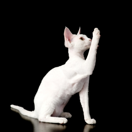 devon: playful devon rex kitten  isolated on dark background