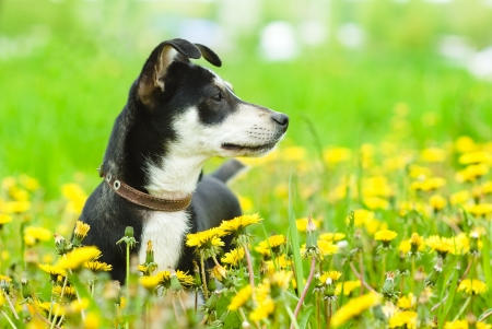 puppy in flower field of yellow dandelions photo