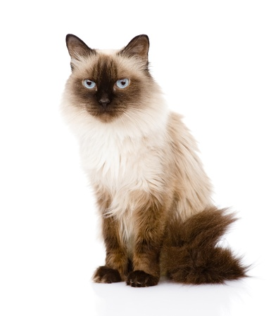 siamese cat sitting in front  isolated on white background photo
