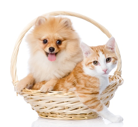 spitz dog embraces a cat in basket  looking at camera  isolated on white background